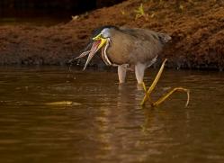 bare-throated-tiger-heron-copyright-photographers-on-safari-com-7989