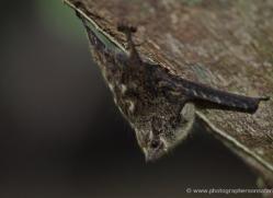 bat-costa-rica-5163-copyright-photographers-on-safari-com