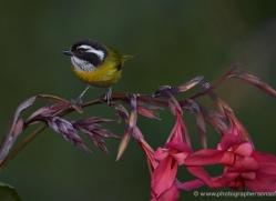 bird-costa-rica-5323-copyright-photographers-on-safari-com