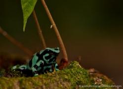 black-and-green-dart-frog-5138-copyright-photographers-on-safari-com