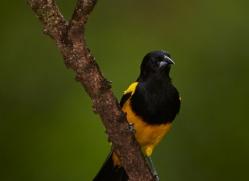 black-cowled-oriole-5292-copyright-photographers-on-safari-com