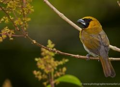 black-faced-grosbeak-5288-copyright-photographers-on-safari-com