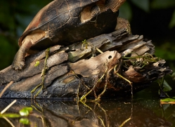 black-river-turtle-5144-copyright-photographers-on-safari-com