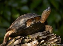 black-river-turtle-5145-copyright-photographers-on-safari-com
