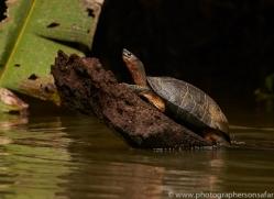 black-river-turtle-copyright-photographers-on-safari-com-7993