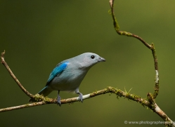 blue-gray-tanager-male-5274-copyright-photographers-on-safari-com