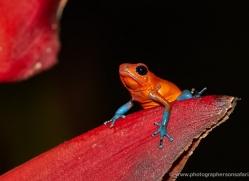 blue-jeans-dart-frog-5097-copyright-photographers-on-safari-com