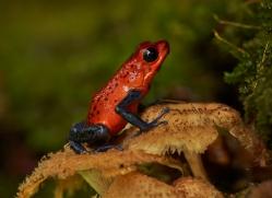 blue-jeans-dart-frog-5099-copyright-photographers-on-safari-com