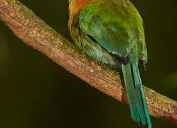 broad-billed-motmot-5201-copyright-photographers-on-safari-com
