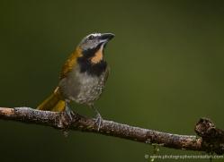 buff-throated-saltator-5286-copyright-photographers-on-safari-com