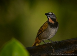 buff-throated-saltator-5287-copyright-photographers-on-safari-com