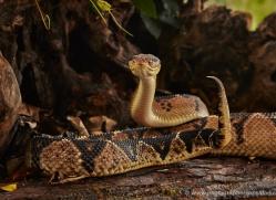 bushmaster-5228-copyright-photographers-on-safari-com