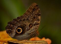 butterfly-costa-rica-5148-copyright-photographers-on-safari-com