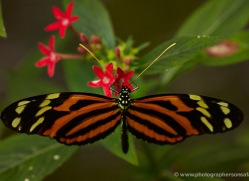 butterfly-costa-rica-5149-copyright-photographers-on-safari-com