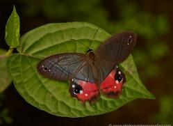 butterfly-costa-rica-5150-copyright-photographers-on-safari-com