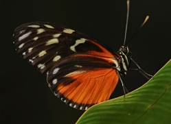 butterfly-costa-rica-5153-copyright-photographers-on-safari-com