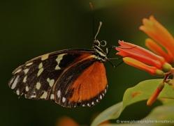 butterfly-costa-rica-5159-copyright-photographers-on-safari-com