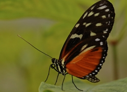 butterfly-costa-rica-5160-copyright-photographers-on-safari-com