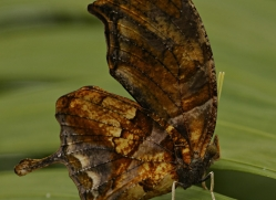 butterfly-costa-rica-5161-copyright-photographers-on-safari-com