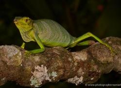 canopy-lizard-5237-copyright-photographers-on-safari-com