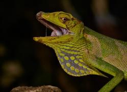 canopy-lizard-5238-copyright-photographers-on-safari-com
