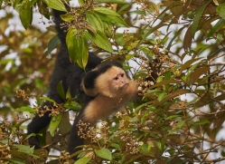 capuchin-monkey-copyright-photographers-on-safari-com-7997