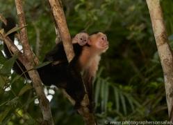 capuchin-monkey-copyright-photographers-on-safari-com-7998