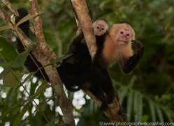 capuchin-monkey-copyright-photographers-on-safari-com-7999