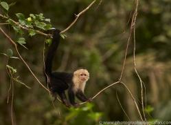 capuchin-monkey-copyright-photographers-on-safari-com-8001