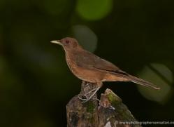 clay-coloured-robin-5316-copyright-photographers-on-safari-com