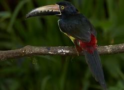 collared-aracari-copyright-photographers-on-safari-com-8004