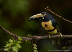 collared-aracari-toucan-5096-copyright-photographers-on-safari-com