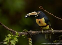 collared-aracari-toucan-5096-copyright-photographers-on-safari-com