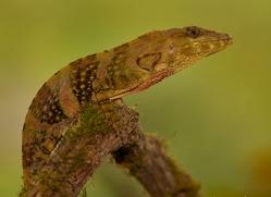 common-basilisk-copyright-photographers-on-safari-com-8005