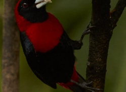 crimson-collared-tanager-5266-copyright-photographers-on-safari-com