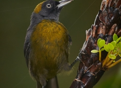 dusky-faced-tanager-5318-copyright-photographers-on-safari-com