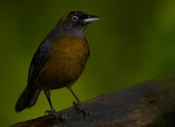 dusky-faced-tanager-5319-copyright-photographers-on-safari-com