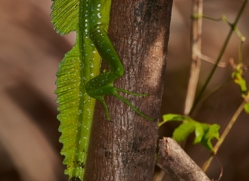 emerald-basilisk-lizard-5257-copyright-photographers-on-safari-com