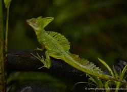 emerald-basilisk-lizard-5258-copyright-photographers-on-safari-com