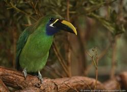 emerald-toucanet-5118-copyright-photographers-on-safari-com