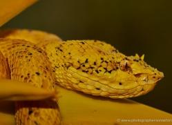eyelash-pitviper-5230-copyright-photographers-on-safari-com