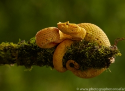 eyelash-pitviper-copyright-photographers-on-safari-com-8008