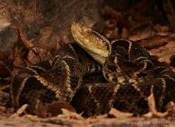 fer-de-lance-pitviper-5234-copyright-photographers-on-safari-com