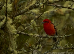 flame-coloured-tanager-copyright-photographers-on-safari-com-8010