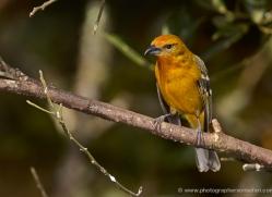flame-coloured-tanager-female-5270-copyright-photographers-on-safari-com