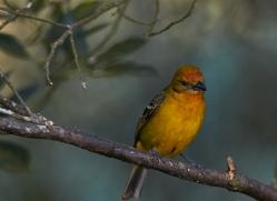 flame-coloured-tanager-female-5272-copyright-photographers-on-safari-com