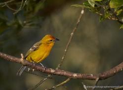 flame-coloured-tanager-female-5273-copyright-photographers-on-safari-com