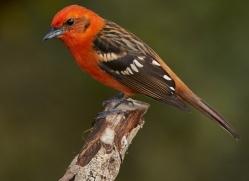flame-coloured-tanager-male-5267-copyright-photographers-on-safari-com