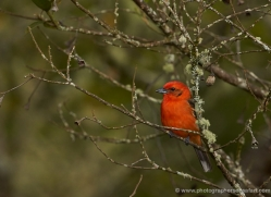 flame-coloured-tanager-male-5269-copyright-photographers-on-safari-com