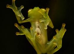 fleischmanns-glass-frog-5195-copyright-photographers-on-safari-com